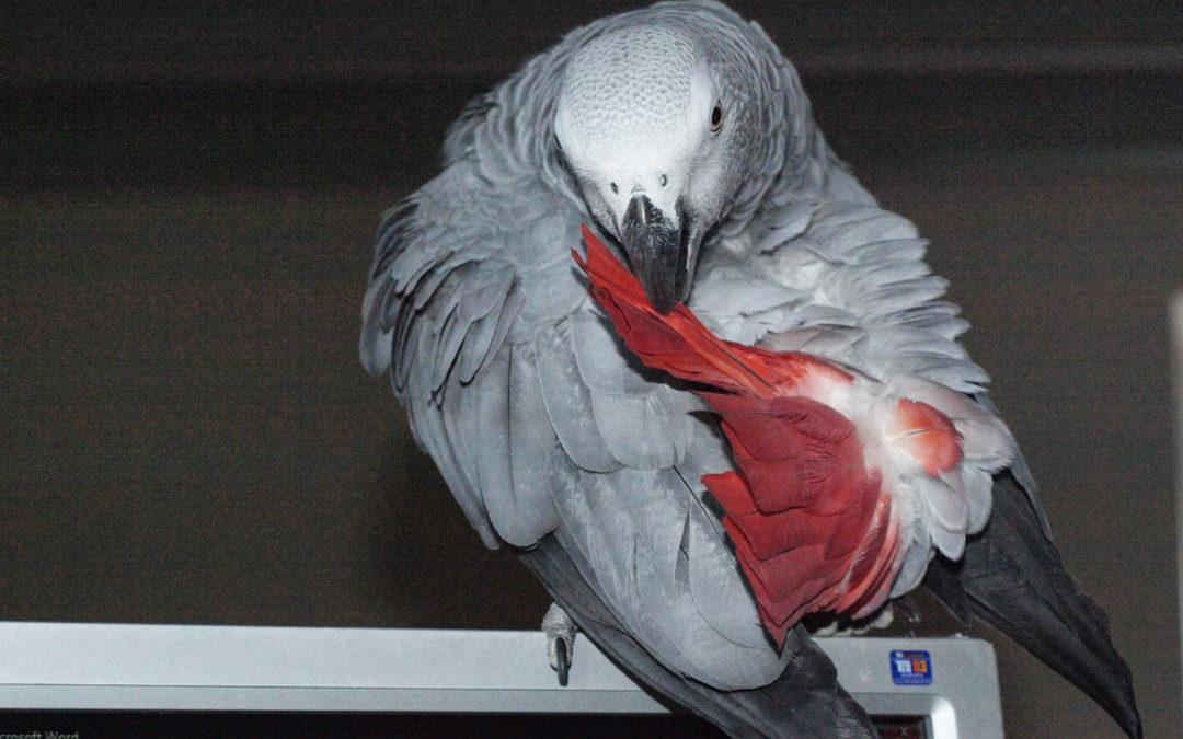 Sant passion perroquet for Maladie poules perte plumes