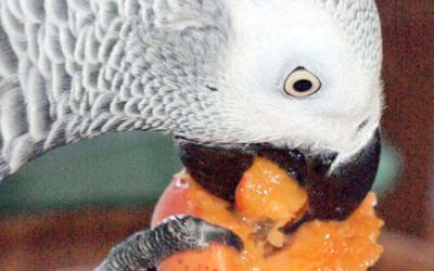Mon point de vue sur l'alimentation des perroquets