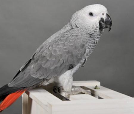 Ce petit perroquet Gris du Gabon commence à découvrir le monde, mais il a encore besoin de soins, de chaleur et d'attention.