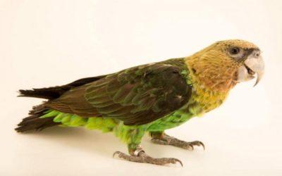 Le perroquet robuste d'Afrique du Sud
