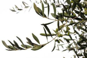 Les feuilles d'olivier pour nos perroquets