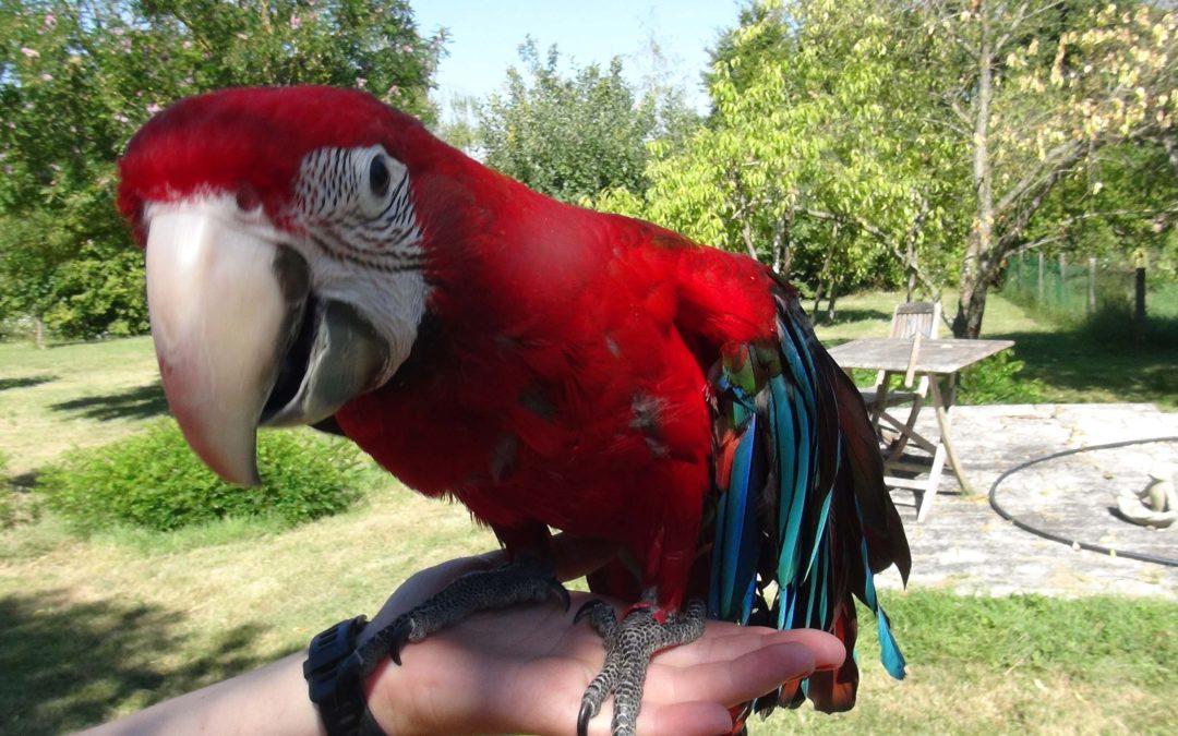 Miss Lady, le perroquet ara chloroptère handicapée