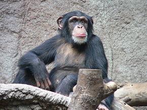 Nos cousins,les Grands singes