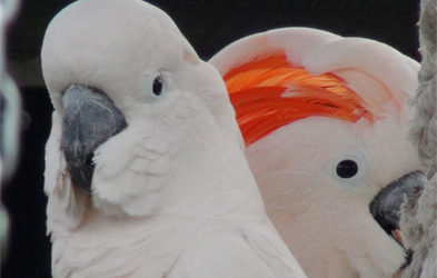 Bô et Belle, premières amours chez un couple de            Cacatoès des Moluques