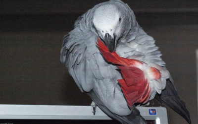 La mue chez le perroquet